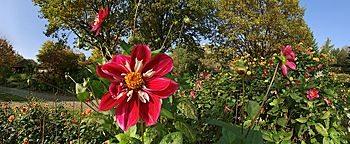 Dahlien Botanischer Garten Bochum